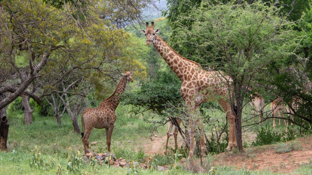 Giraffes in the parking lot of Black Leopard Mountain Lodge