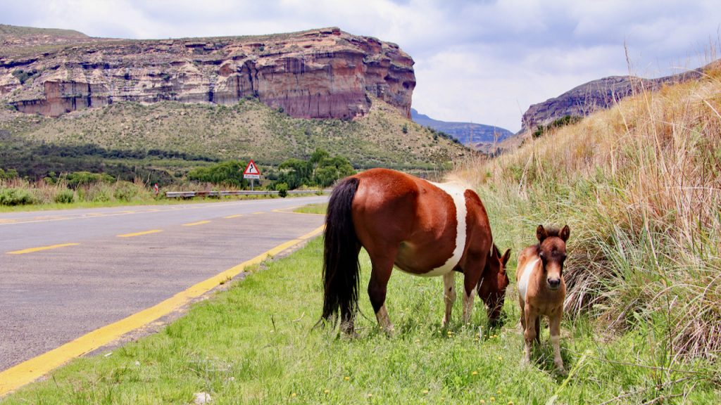 Basotho pony and foal beneath the sandstone cliffs of Golden Gate National Park.