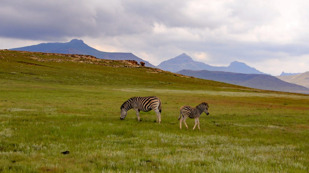 Zebra and foal graze on green grass at Golden Gate Highlands National Park