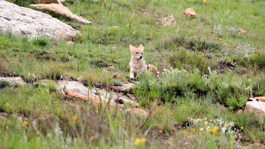 Black-backed jackal sitting in the grass