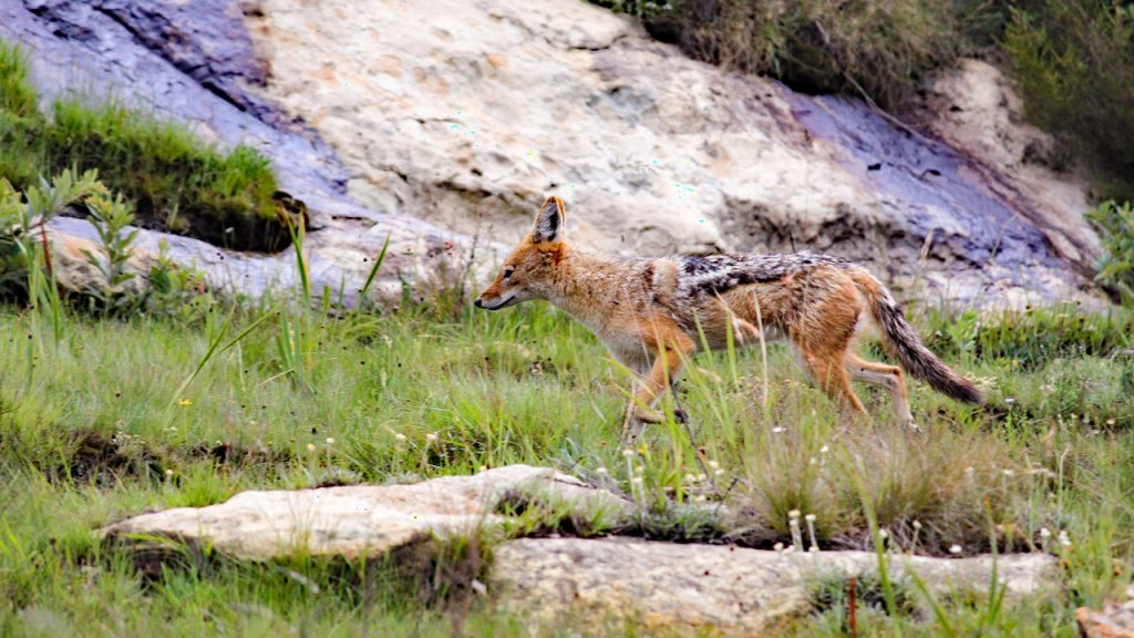 Black-backed jackal on the move