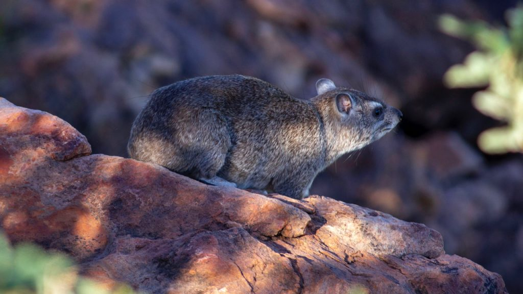 A dassie (rock hyrax) waits for the sun to warm him