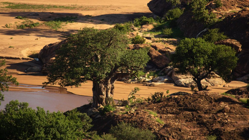 A lone baobab guards the Limpopo and Shashe River Confluences in Mapungubwe National Park