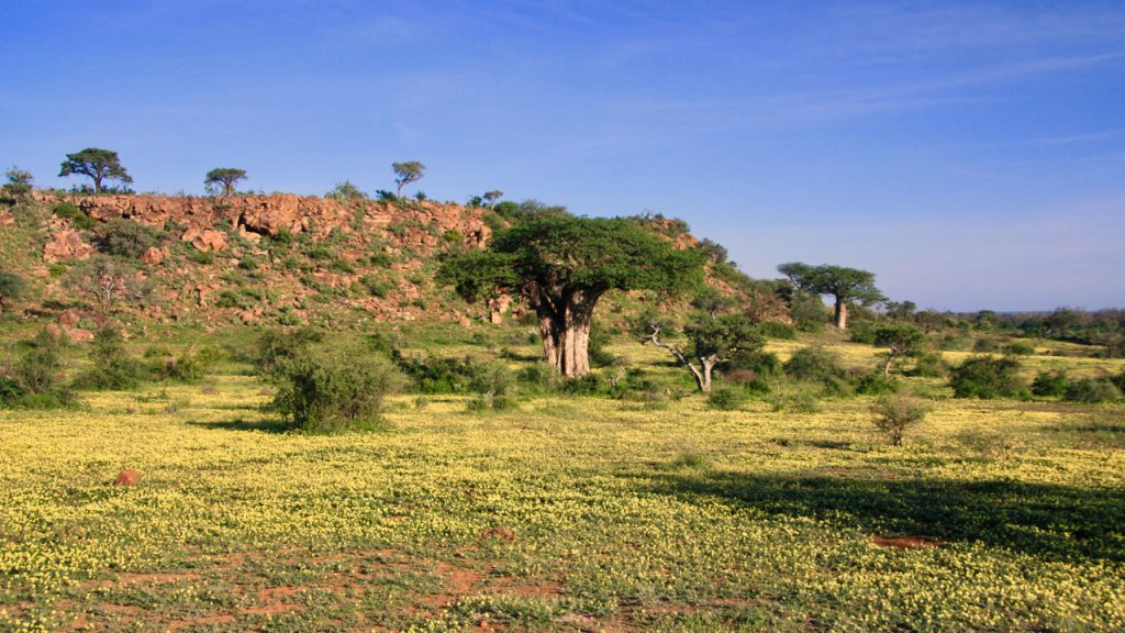 Baobabs in a field of yellow flowers in the Mapungubwe National Park.