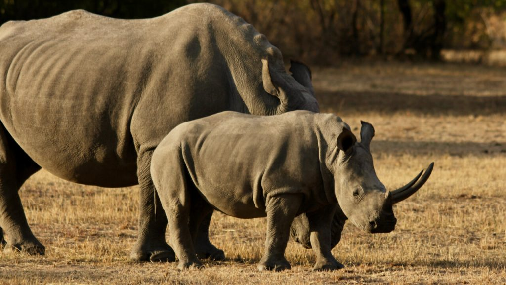 Baby rhino stands in front of its mom