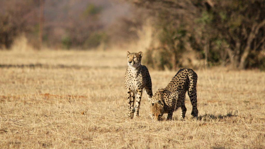 Two cheetahs on a grass plain