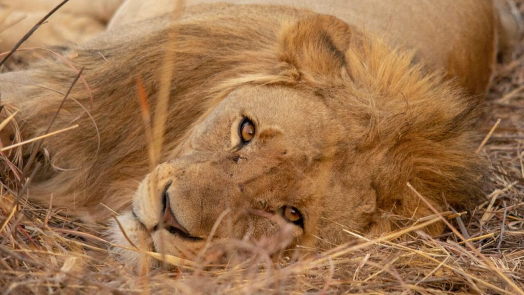 An African Lion lying on the grass