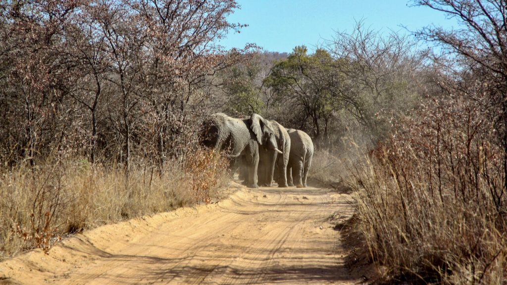 Elephants on a dirt track in the Mabula Game Reserve