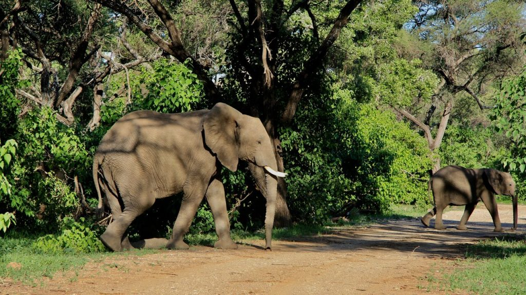 Elphants cross a dirt track near Limpopo Forest Tented Camp