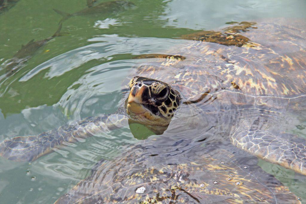Turtle at Mnarani rehab centre